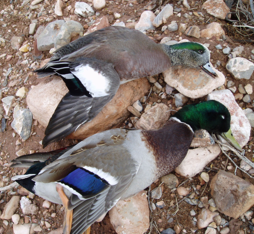 <h1>Best mallard and widgeon in full plumage hunting in the west</h1>