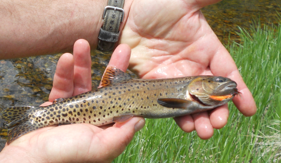 <h1> Native Rio Grande Cutthroat trout in small streams running through the same meadow we grouse hunt</h1>