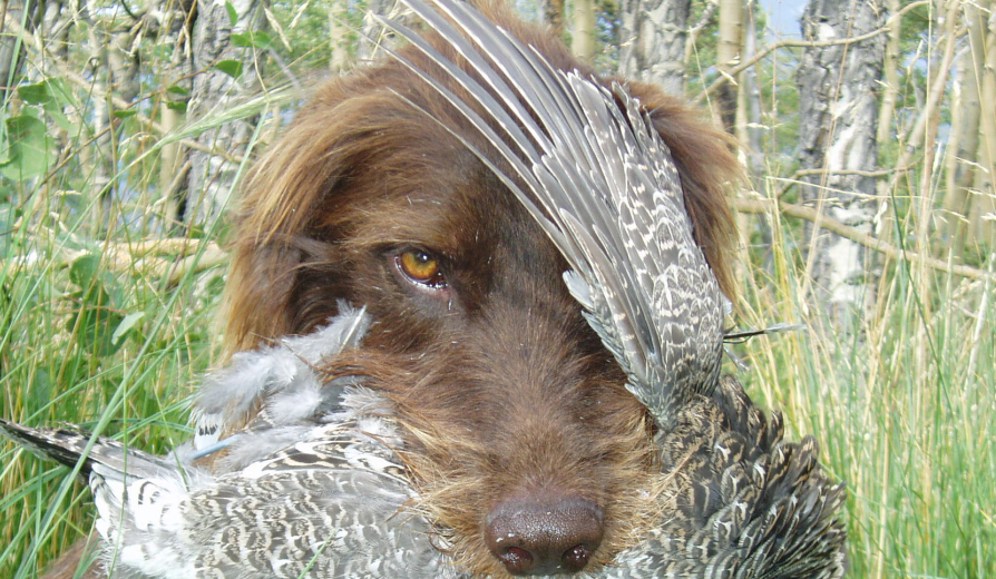 <h1>Dusky Grouse of the southwest are a high alpine bird that is a blast to hunt! </h1>