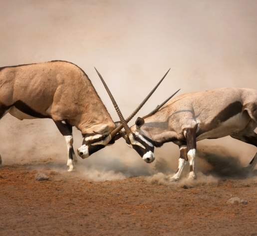 <h1>White Sand Missile Range is Americas #1 test firing range and home of the finest quality of free range Oryx (Kalahari Gems Bok) in our nation</h1>
