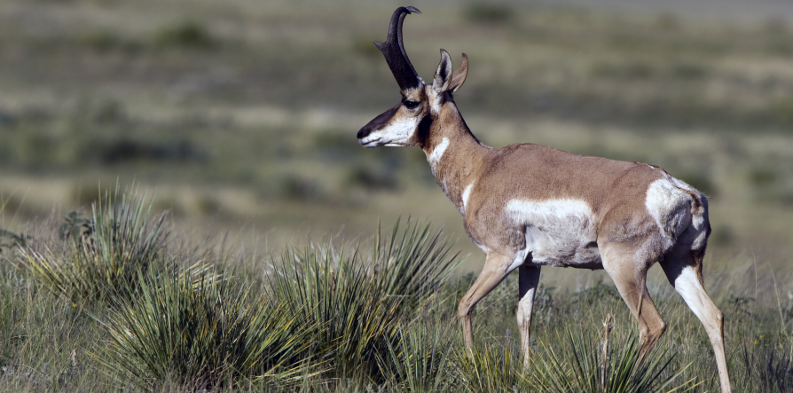 <h1>Pronghorn Antelope, Prairie Ghost, or Speed Goats, whatever you prefer to call the Pronghorn, it is fun and challenging to hunt in wide open spaces of the eastern New Mexico plains</h1>